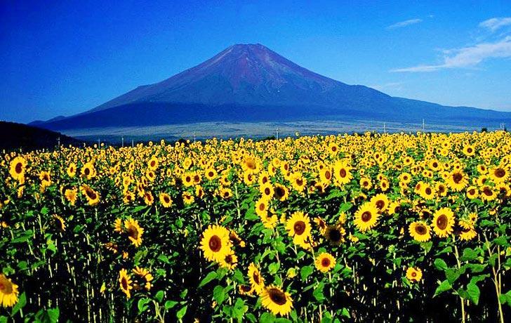 ดอกทานตะวันนับล้านกำลังช่วยดูดซับสารกัมมันตภาพรังสีที่ ฟูกูจิมา 2 - Koyu Abe