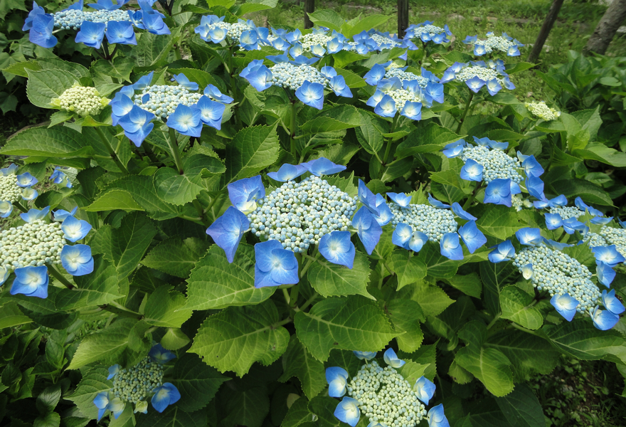 World travel with Hydrangea 2 - Flower