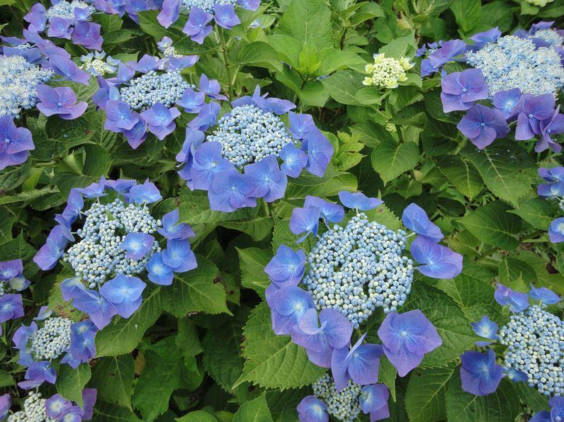 สิ่งที่น่ารู้เกี่ยวกับดอกไฮเดรนเยีย Hydrangea 13 -