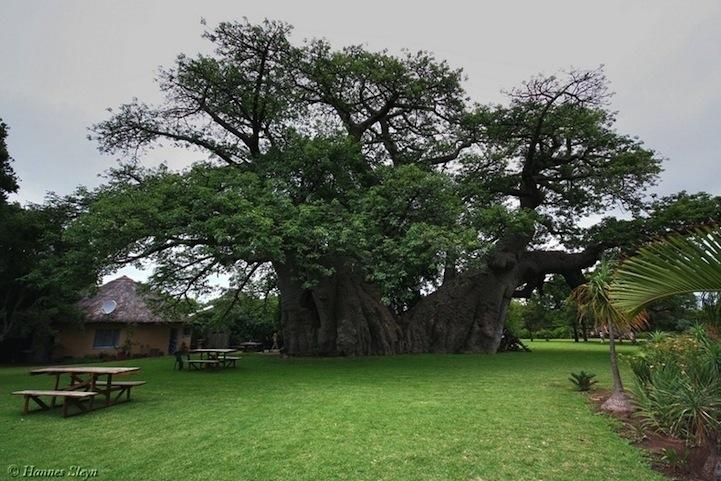 ต้นไม้อายุ6,000ปี ที่ข้างในกลายเป็นผับเก๋ๆ 13 - Baobab