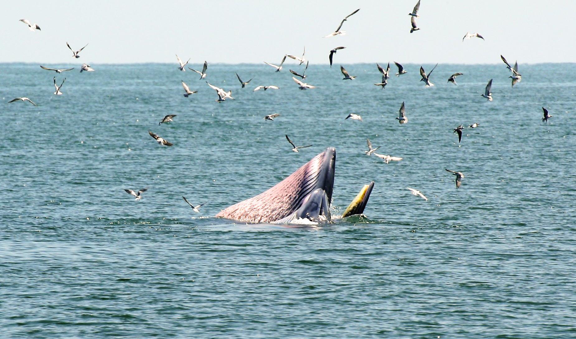 ล่องเรือชม วาฬบรูด้า สัตว์ป่าสงวนลำดับที่ 16 สัตว์ประจำถิ่นอ่าวไทย 13 - วาฬบรูด้า