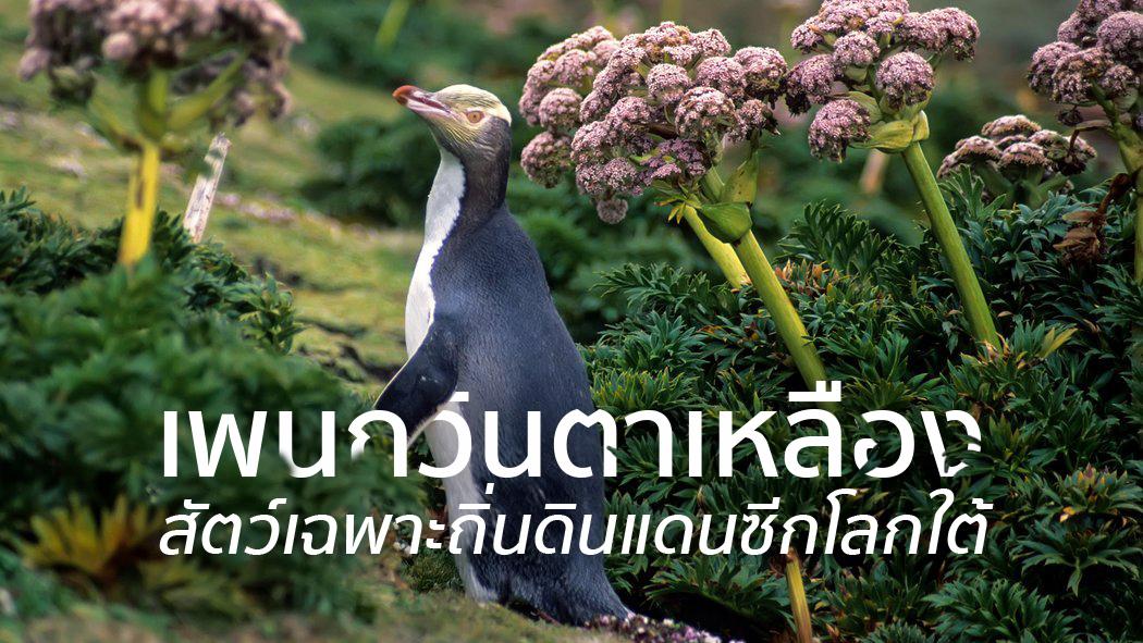 ชมนกเพนกวินตาเหลือง ที่นิวซีแลนด์ สัตว์เฉพาะถิ่นของดินแดนซีกโลกใต้ 13 - penguin